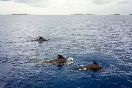 Short-finned pilot whales (Globicephala macrorhynchus) surfacing
