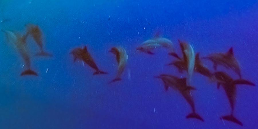 Swimming with dolphins at Kuda Huraa, Maldives