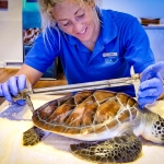Cath's blog - measuring Gaston the green turtle