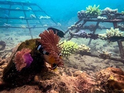 Clark's Clownfish - new home