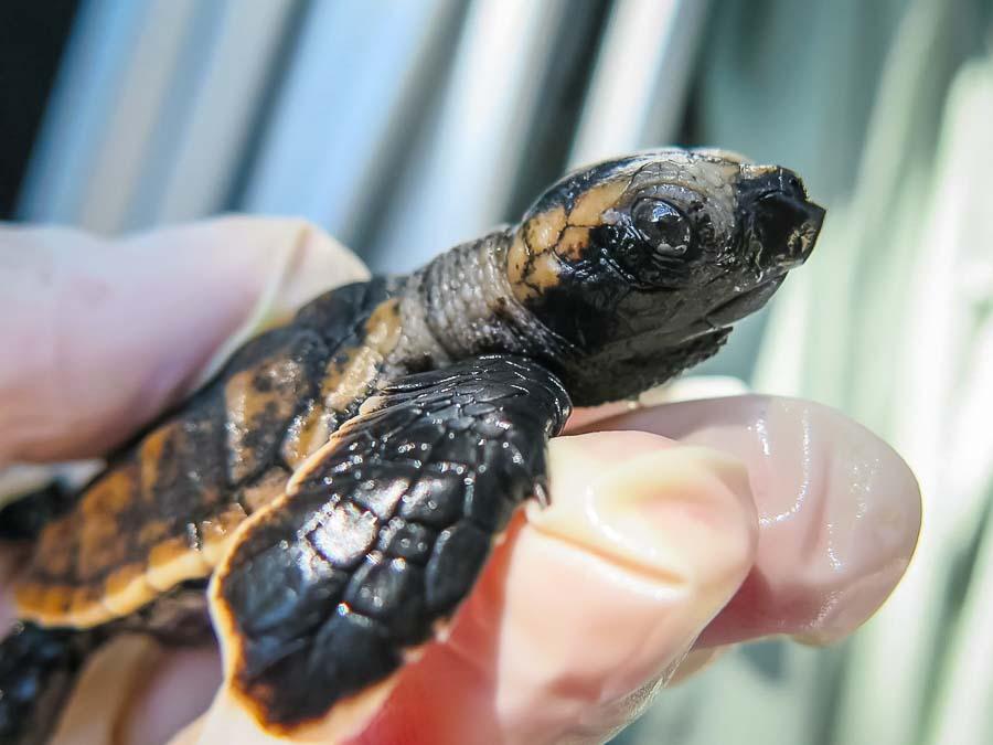 Hawksbill Turtle hatchling from Maalifushi