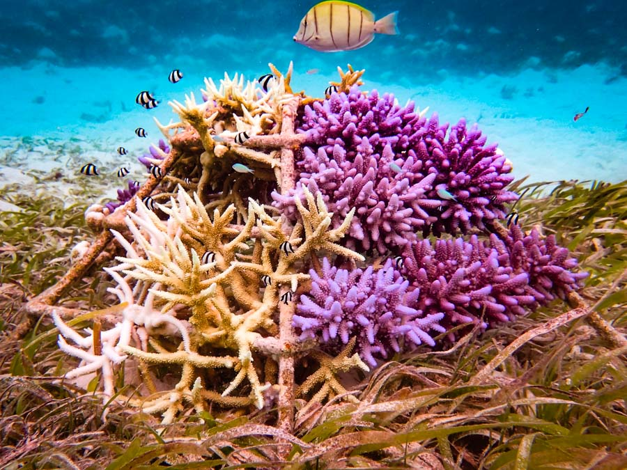 Reefscapers coral frames - seagrass experiment