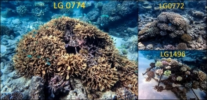 Reefscapers coral frames, Landaa – East Beach (Reefscapers – Coral Propagation Experiments)