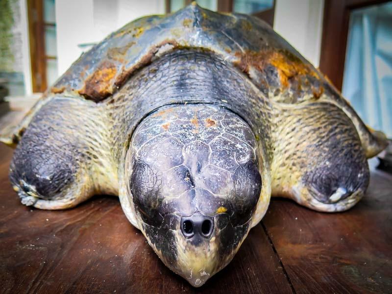 Kuda Huraa – Turtle Conservation Programmes