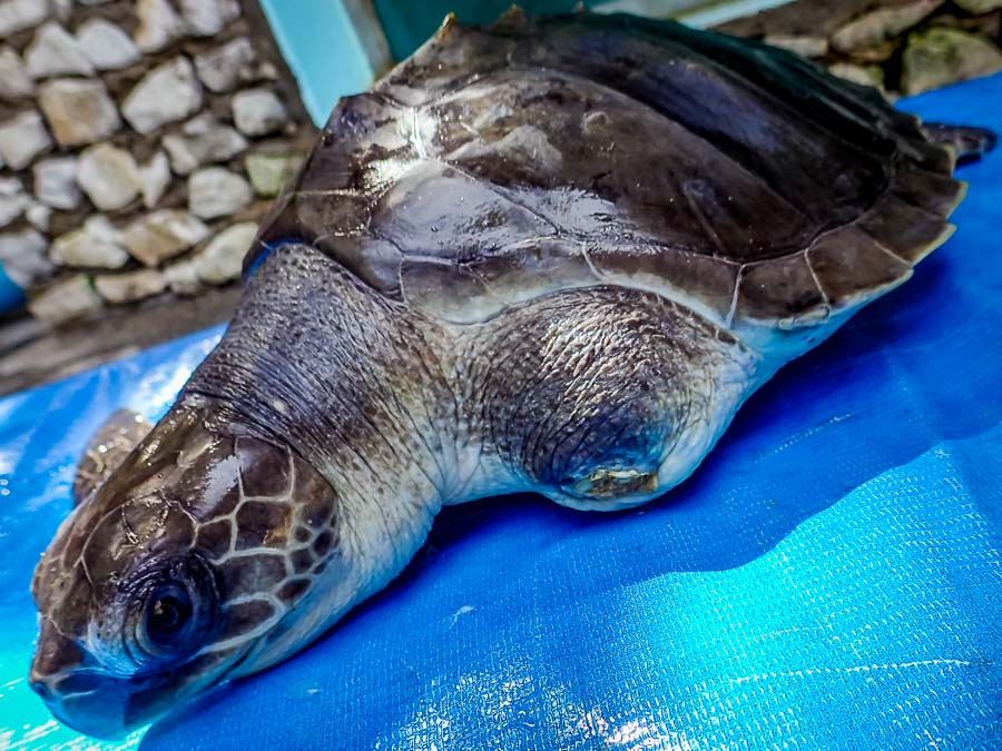 Rescue turtle Thomas at our Centre