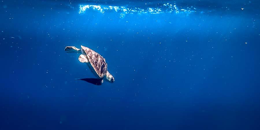 Release of rescue turtle Thomas