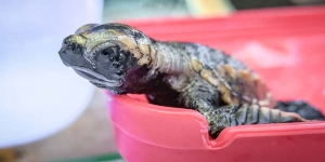 Hawksbill hatchling weigh-in (Kuda Huraa – Turtle Conservation Programmes)