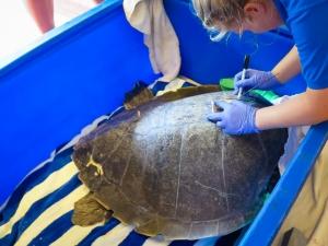 Satellite tagging turtle 'Nash' Marine Savers Maldives (Nash)
