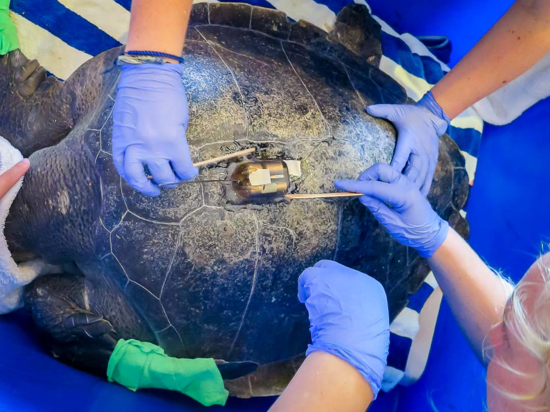Satellite tagging turtle 'Nash' Marine Savers Maldives
