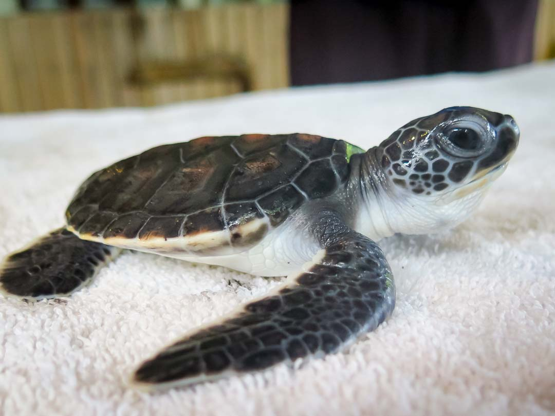 160614-cm-105-tony-turtle-monitoring-day-11