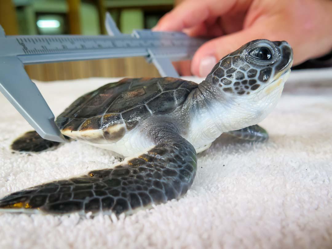 160614-cm-105-tony-turtle-monitoring-day-14