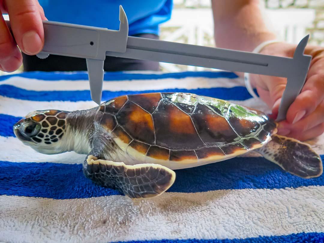 Rescue green turtle 'Dot'