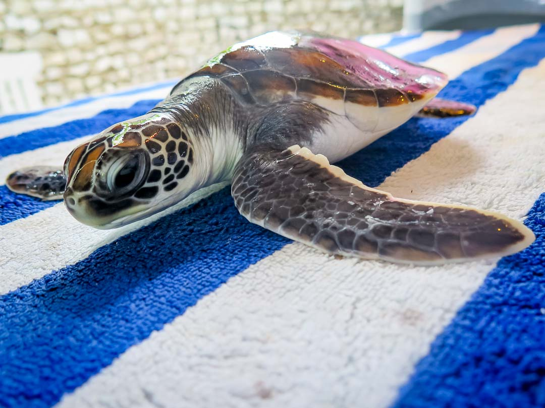 Rescue green turtle 'Dot'