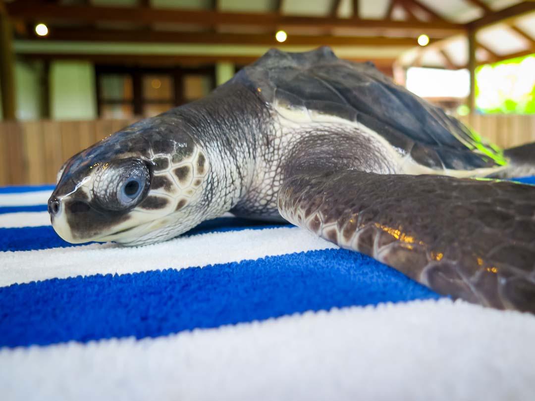 Winslow rescue turtle Marine Savers Maldives