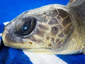 Greg Turtie rescue turtle Marine savers Maldives (Greg-Turtie)