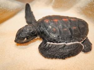 rescue turtle 'Quint' on admission (Quint)