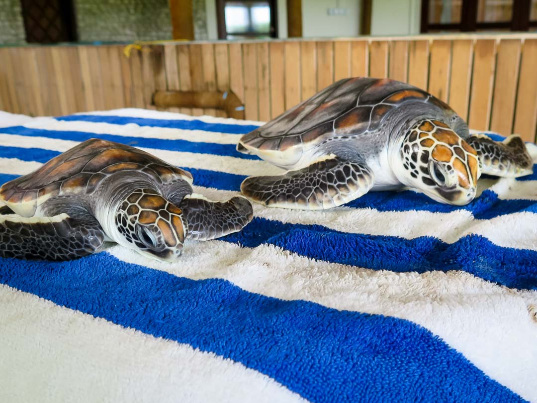 Rescue green turtles 'Dot' and 'Dash' (left) - size difference