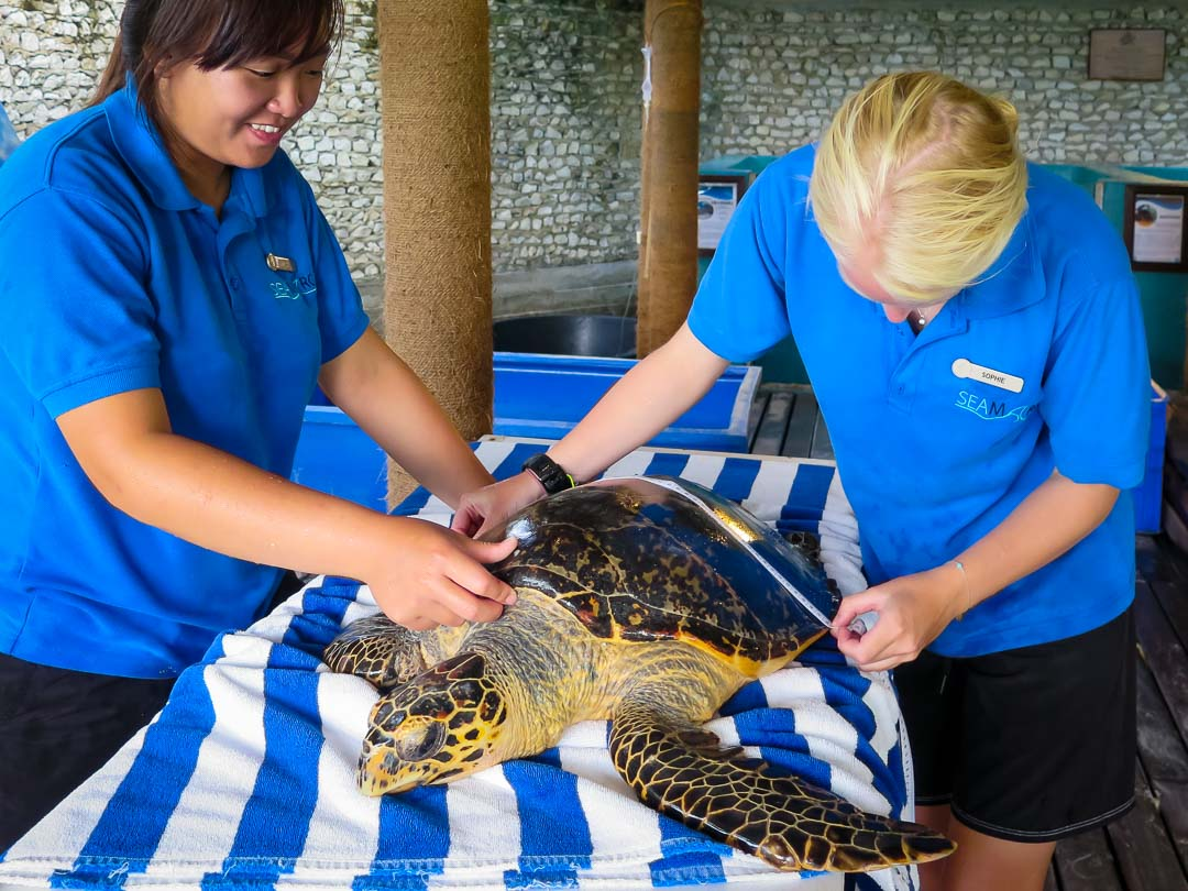 Rescued hawksbill turtle - Fiya, measured before release