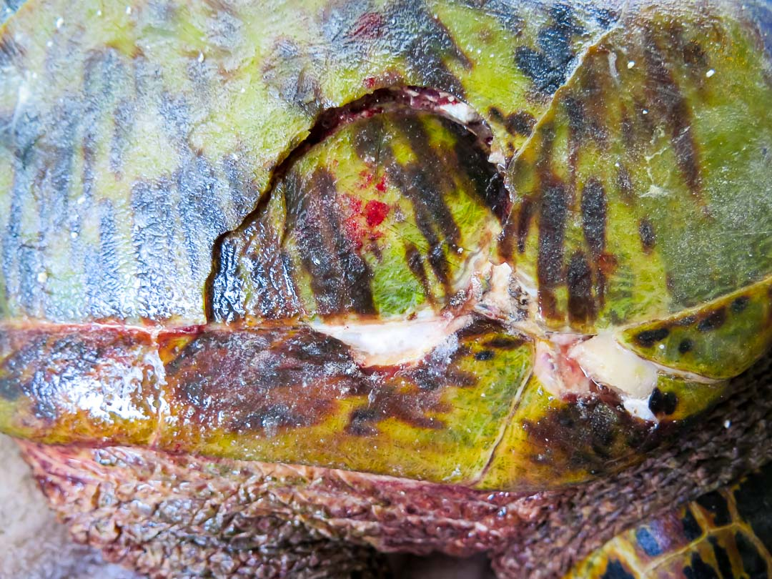 Hawksbill turtle Kainalu with Carapace Injury