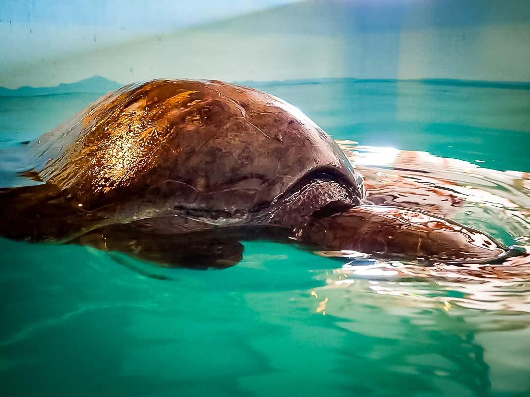 aaaVeee - juvenile Olive Ridley turtle, Marine Savers Maldives - floating 'buoyancy syndrome'