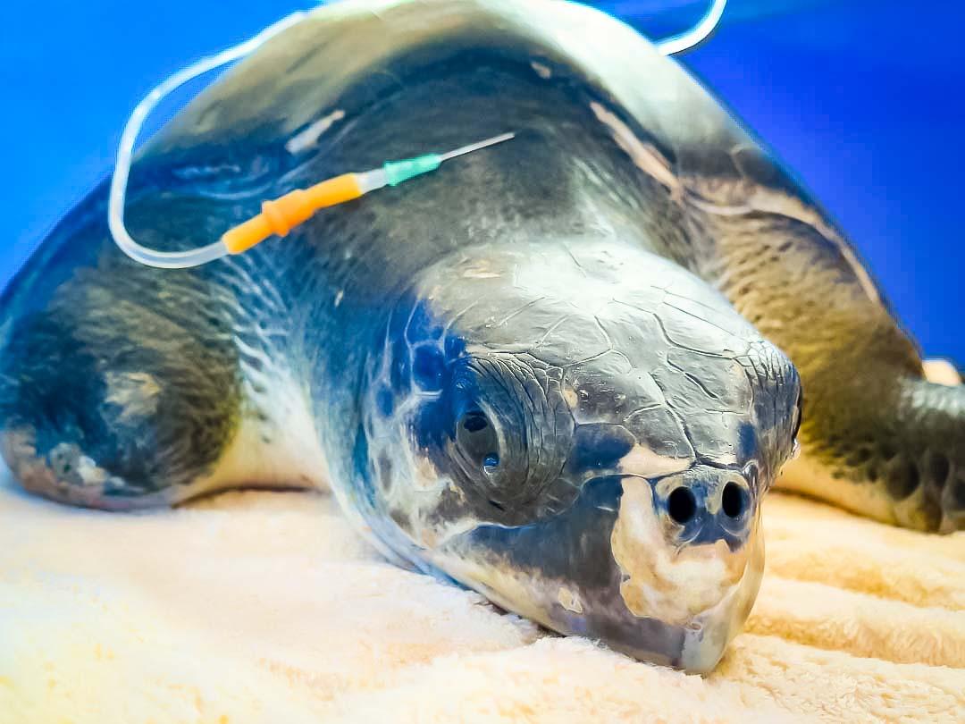 aaaVeee - juvenile Olive Ridley turtle, Marine Savers Maldives