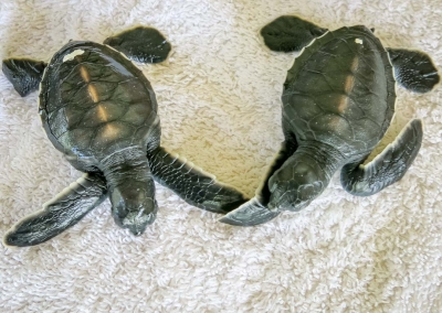 Rescue green turtles 'Dot' and 'Dash' on admission