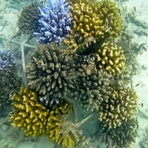 Coral Bleaching - Acropora