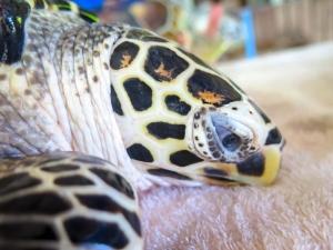 Fern Hawksbill turtle Marine Savers Maldives (Fern)