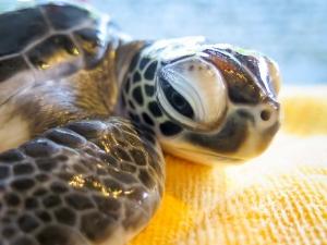 head-start-turtle-honu-cm-n025-107 (Honu)