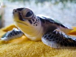 head-start-turtle-hatchling-bodhi-cm-n027-111 (Bodhi)