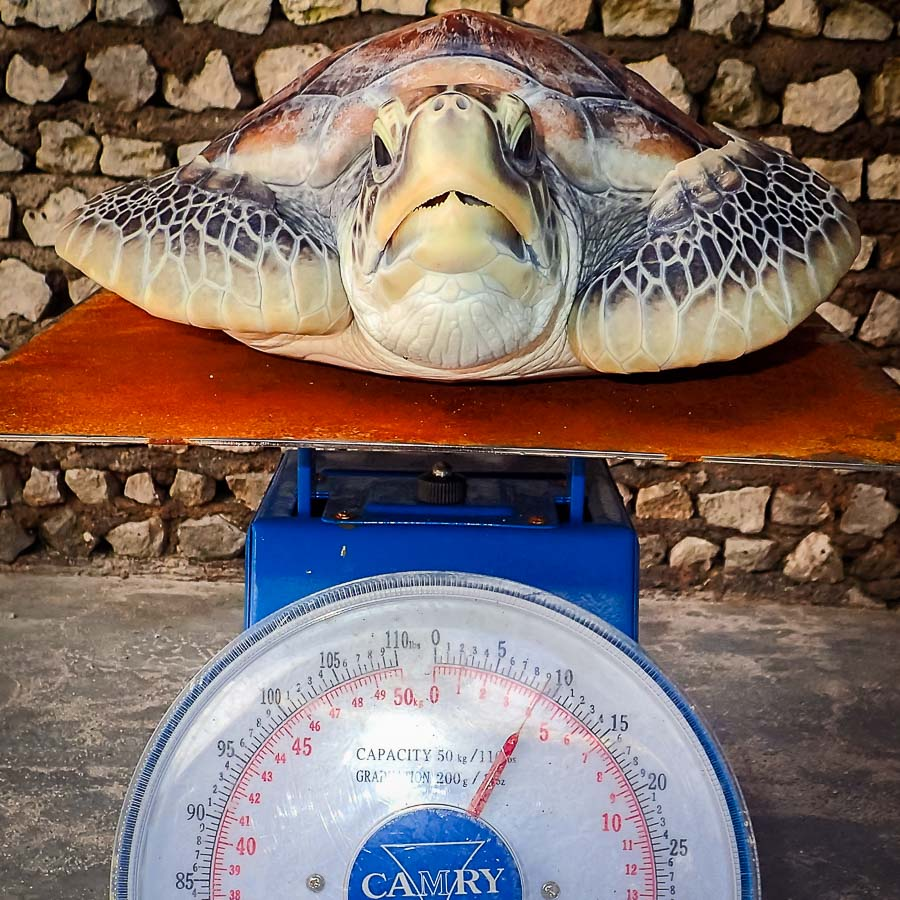 Vasya the Green Turtle weigh-in