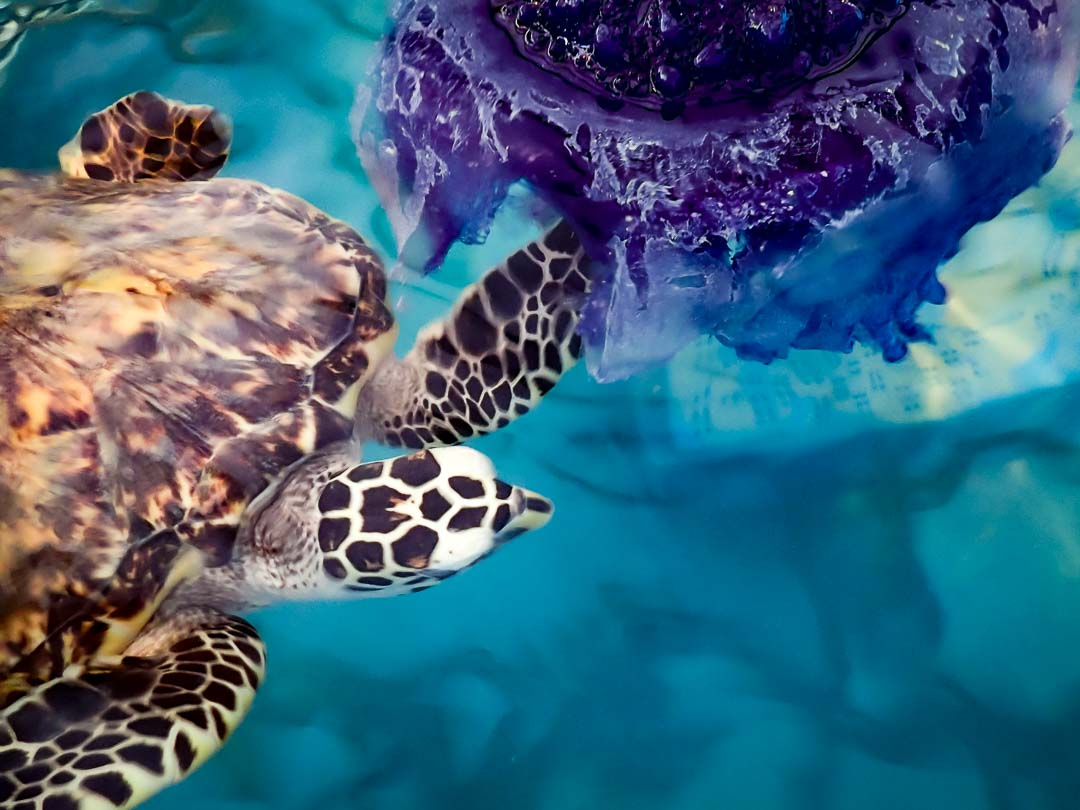 Pinecone [EI.N007.030] - Hawksbill turtle eating jellyfish