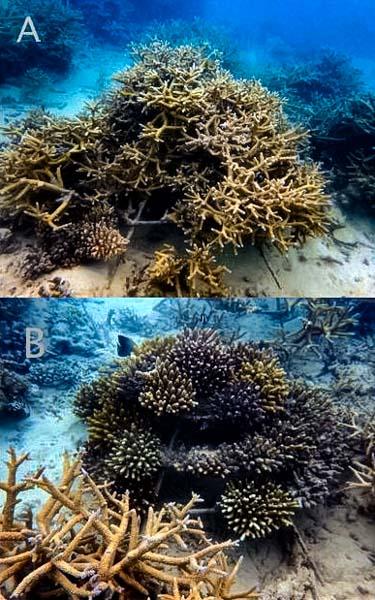 Coral frames (A: LG0729) (B: LG0730)