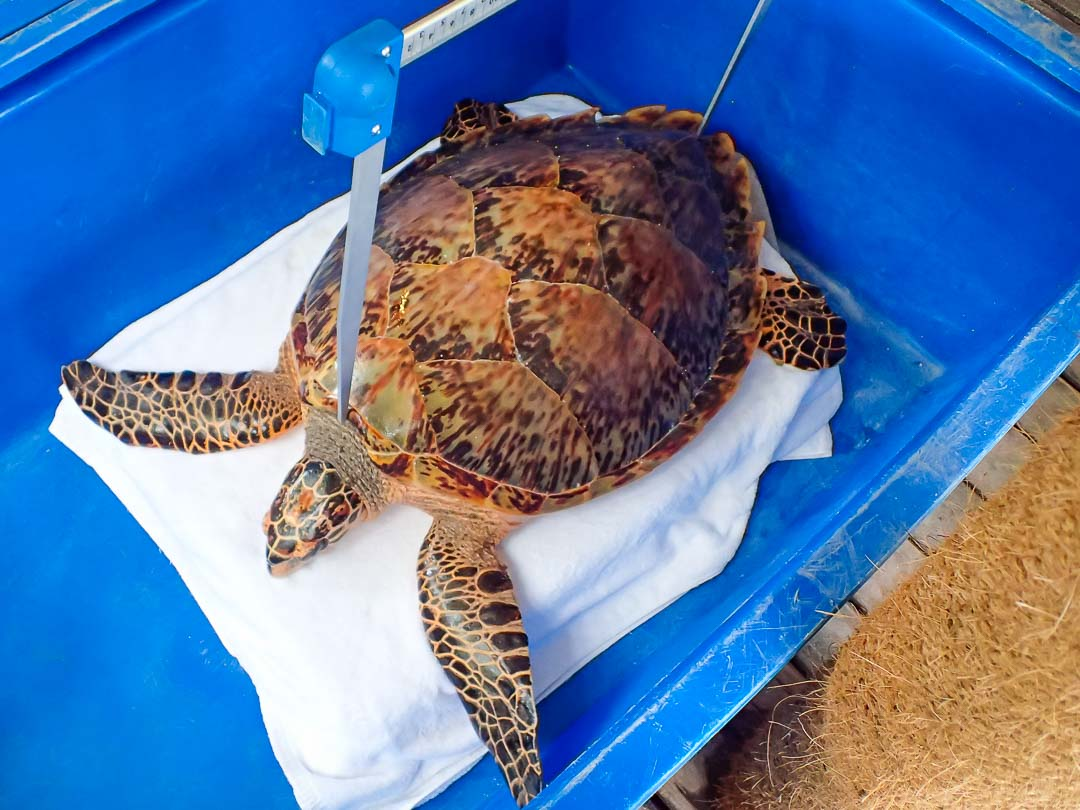 injured Hawksbill turtle Kainalu, Marine Savers Maldives