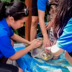 Turtle care and cleaning - Winy [Seamarc Maldives Volunteers]