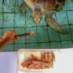 Turtle feeding [Seamarc Maldives Volunteers]
