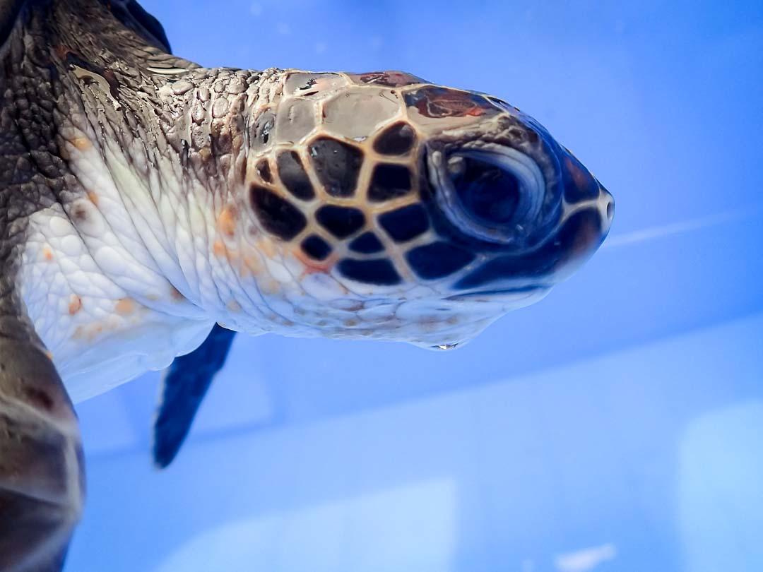Rescue turtle 'Hua' Marine Savers Maldives