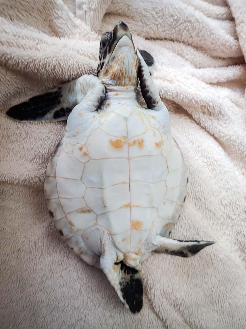 Rescue turtle 'Hua' - nap time - Marine Savers Maldives