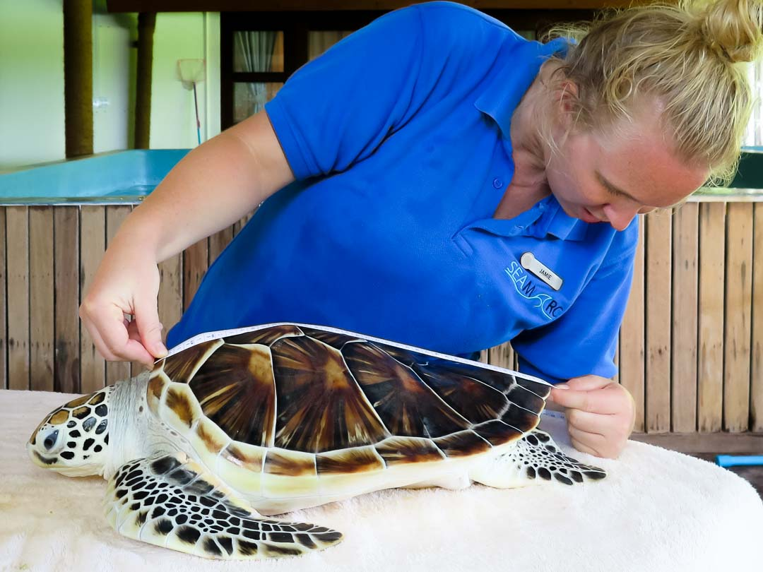 Rescue turtle 'Hua' - before release - Marine Savers Maldives