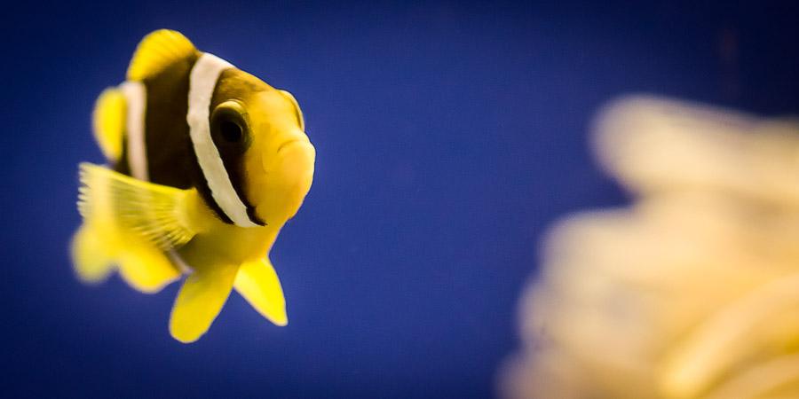Clark's Clownfish