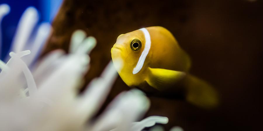 Maldivian Clownfish