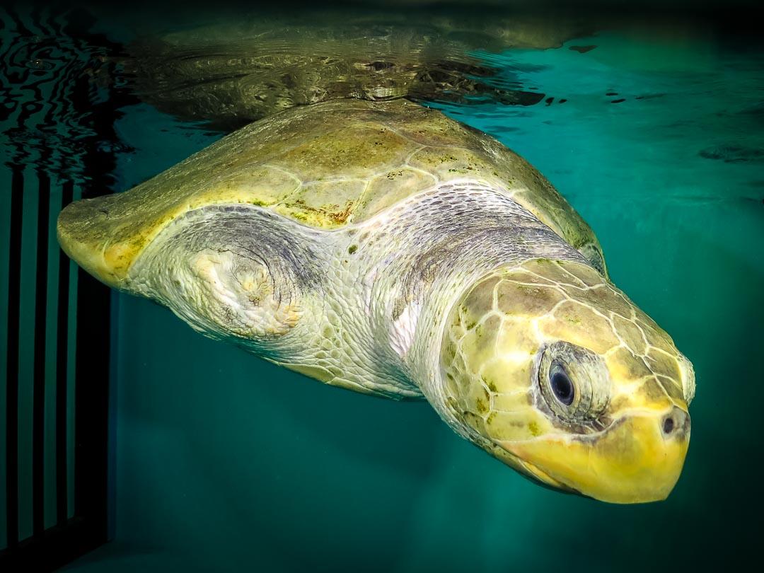Olive Ridley Turtle rescued - Elsa