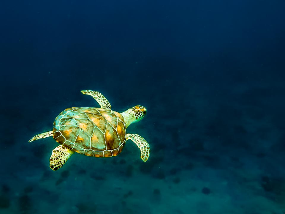 Eskimo - green sea turtle - swimming free [KH.FB.09]