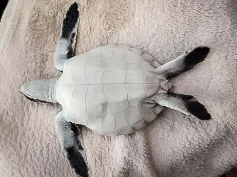 Green turtle post hatchling from Maarikilu - recovered [LG 2015.09]