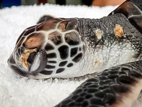 Green turtle post hatchling from Maarikilu - unhealthy [LG 2015.09]