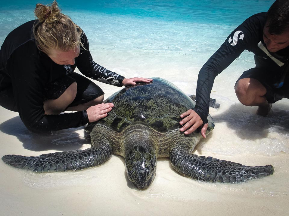 Huge adult male Green Turtle, stranded, rescue, Kuda Huraa Maldives