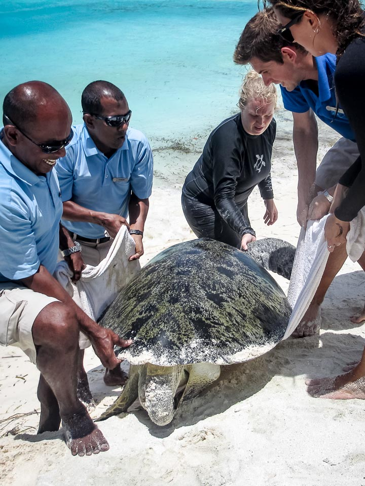 Huge adult male Green Turtle, stranded, rescue, Kuda Huraa Maldives