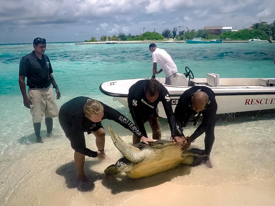 Huge adult male Green Turtle, stranded, rescue, Kuda Huraa Maldives.