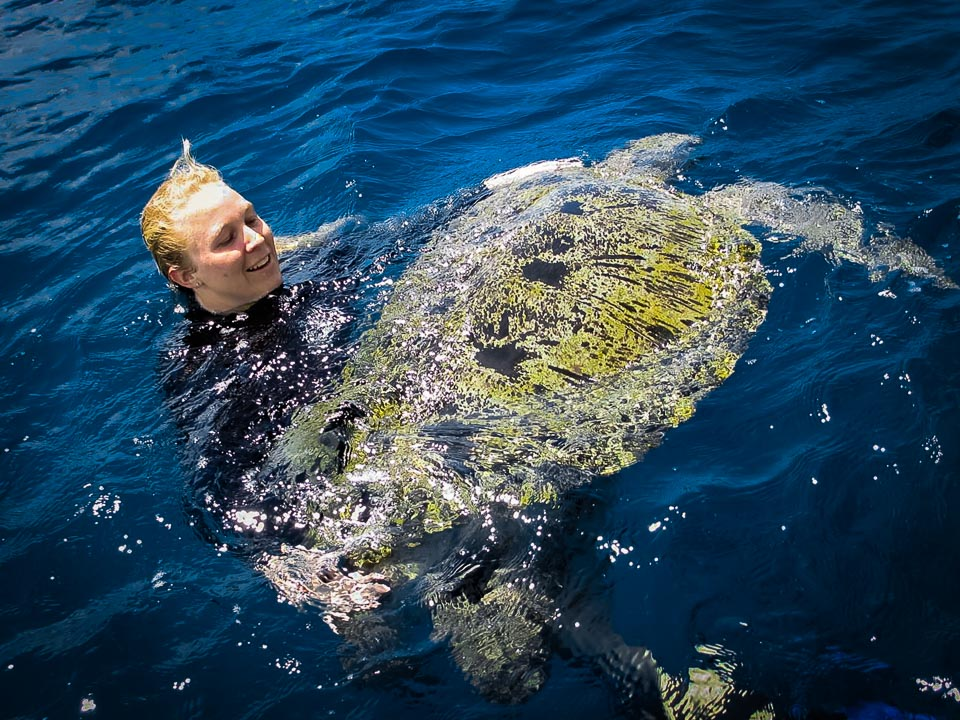 Huge adult male Green Turtle, stranded, rescue