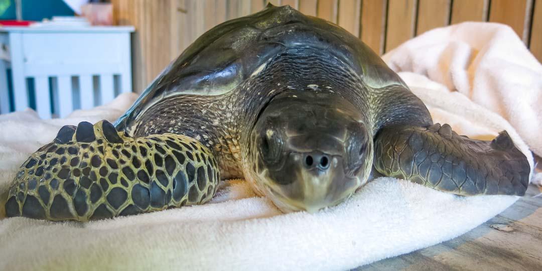 Ollie juvenile Olive Ridley turtle arrival